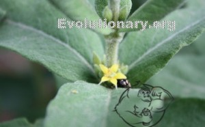 fadogia agrestis plant