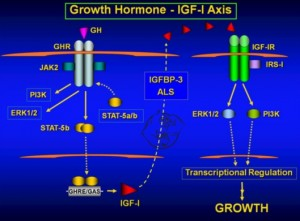 growth hormone igf-1 axis
