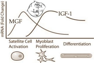 mgf igf-1