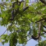 Cassia grandis
