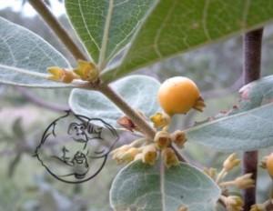 Fadogia Aggrestis plant