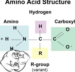amino acids diet