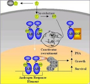 androgen receptor