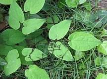 Fig 1. Epimedium plant