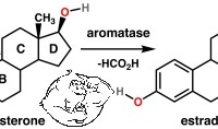 Fig 2. Aromatase Enzyme
