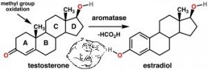 Aromatase Enzyme