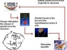 Fig 1. Ghrelin and Hunger