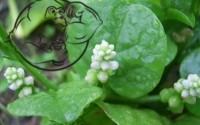 Fig 1. Basella Alba plant