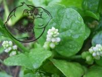 Basella Alba plant