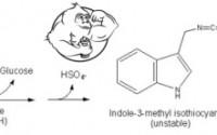 Fig 1. Indole-3-Carbinol -- How It Works