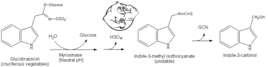 Indole-3-carbinol how it works