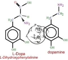 L-dopa vs dopamine