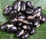 Fig 1. Mucuna Pruriens Beans