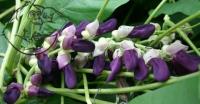 Mucuna pruriens plant