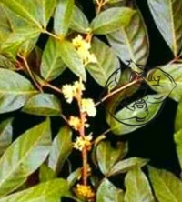 muira puama plant