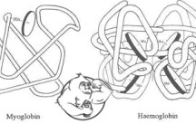 Fig 1. Myoglobin and Hemoglobin