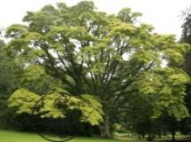 Fig 1. Phellodendron