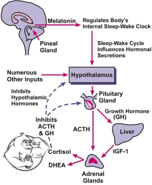 pineal gland sleep cycle