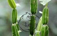 Fig 1. Cissus Quadrangularis plant