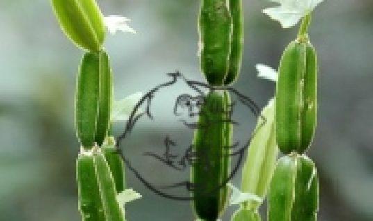 Cissus Quadrangularis plant