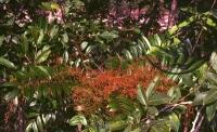 Fig 1. Eurycoma longifolia plant (Tongkat Ali)