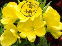 Evening Primrose plant