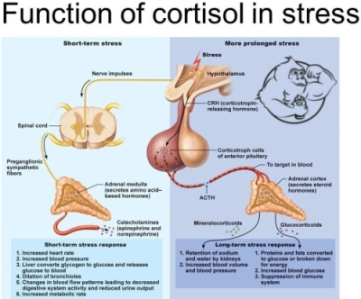 function of cortisol stress hormone