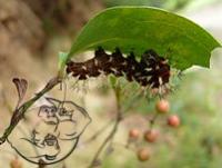 smilax sieboldii seeds