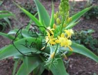 Fig 1. Bulbine Natalensis Plant