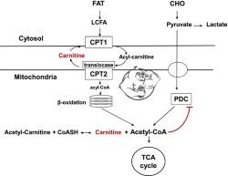 acetyl-l-carnitine metabolism