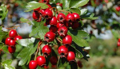 ban-hawthorn-berry