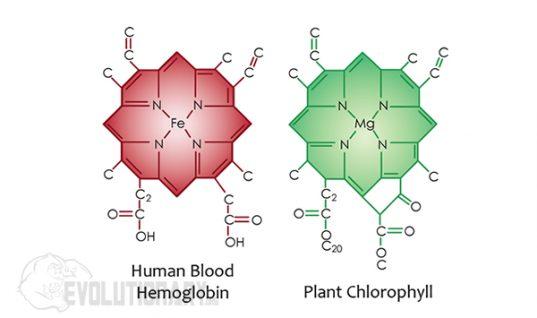 ban-chlorophyll