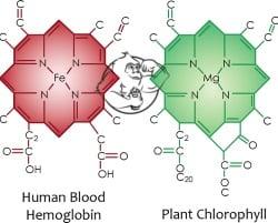 haemoglobin vs chlorophyll