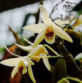 eria jarensis plant
