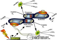 nitric oxide synthase