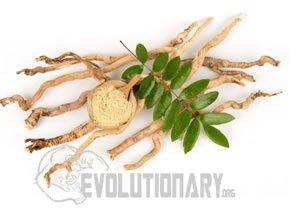 EVO - Longjack (Eurycoma longifolia)